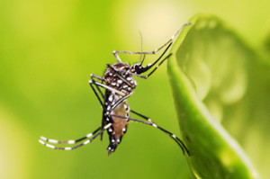 Mosquito Aedes_aegypti